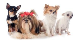 purebred Shih Tzu and chihuahuas in front of white background